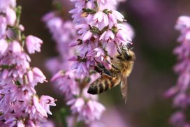 Honey bee on heather